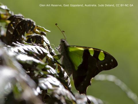 Butterfly in Glen Art Reserve, East Gippsland, Australia