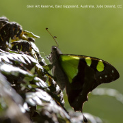 Butterfly in Glen Art Reserve, East Gippsland, Australia